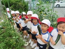 幼稚園 キュウリ収穫 5月31日(木)